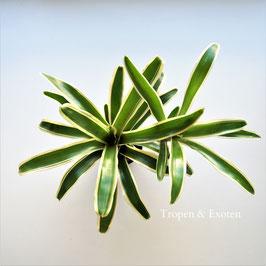 Neoregelia schultesiana variegata