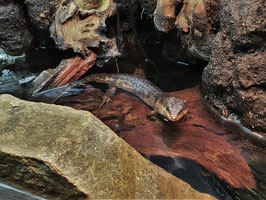 Sulawesi Wasserskink - PAARPREIS - Tropidophorus baconi