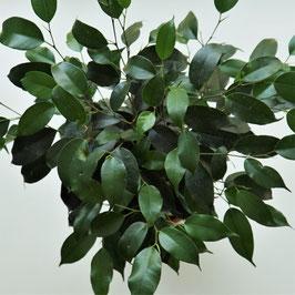 Ficus benjamini - 2 Blattvarianten verfügbar