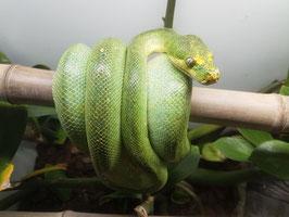 """Morelia viridis Weibchen - Baumpython  """"Aru"""""""