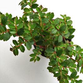 Begonia foliosa - Feinblättrige Begonienart aus Venezuela