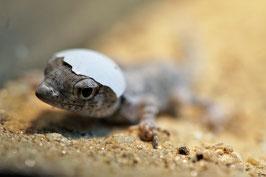 Sie suchen einen ganz bestimmten Gecko? Kein Problem!