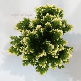 Selaginella martensii - Moosfarn