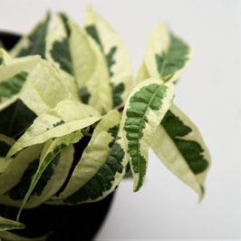 Ficus sagittata variegata - schöne hellblättrige Rankpflanze