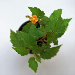 Begonia sutherlandii `Papaya`