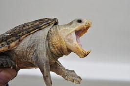 Claudius angustatus - Mex. Großkopfschlammschildkröte