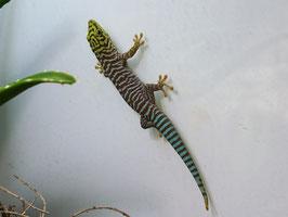 Phelsuma standingi - Querstreifen Taggecko
