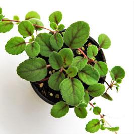 Alsobia dianthiflora - niedrigwachachsender, samtbättriger Bodendecker