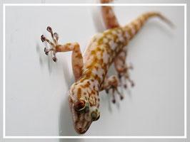 Ptyodactylus ragazzi (togoensis) - Fächerfingergecko Gruppenpreis: 1.2
