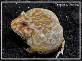 Ceratophrys cranwelli - Albino Schmuckhornfrosch