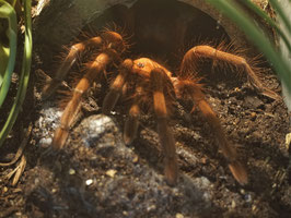 Theraphosa apophysis - Riesenvogelspinne 100%iges Weibchen