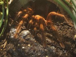 Theraphosa apophysis - Riesenvogelspinne 100%iges Weibchen