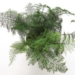 Fächerfarn - Asplenium daucifolium