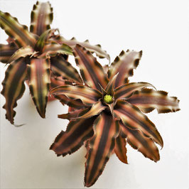 "Cryptanthus spec. ""red"""