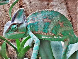 Chamaeleo calyptratus - Jemenchamäleon Männchen