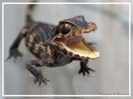 Paleosuchus palpebrosus - Brauen Glattstirnkaiman