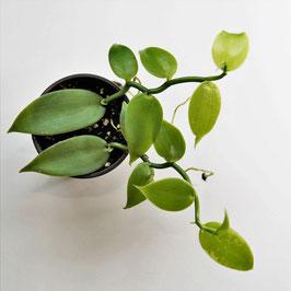Vanilla planifolia - echte Vanille