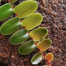 Marcgravia sintenisii - Hammer Rankpflanze