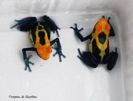 Dendrobates tinctorius Brasil / Brasilianer - Färberfrosch