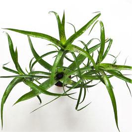 """Neoregelia  pauciflora ssp. """"spotted"""" - 2 Topfgrößen zur Auswahl"""