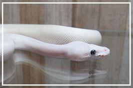 Python regius - Königspython Blue eyed lucy Weibchen