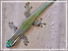 Phelsuma ornata - Ornament Taggecko