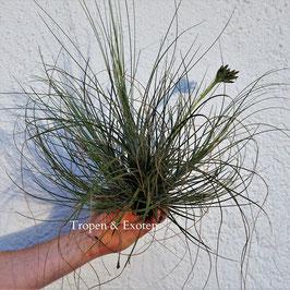 Tillandsia bartramii - auf Kork M -XL