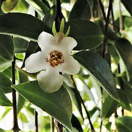 Codonanthe gracilis - Hängepflanze