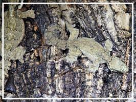 Ptychozoon kuhli - Kuhl´s Faltengecko Weibchen