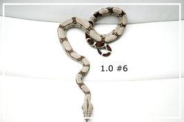 Boa constrictor constrictor - Surinam Rotschwanzboa Männchen