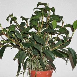 Anthurium scandens - Klettermaxe!