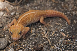 Paroedura picta - Madagaskar Großkopfgecko Xanthic/wildtyp