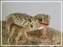 Chinesischer Wundergecko - Teratoscincus roborowskii Paarpreis