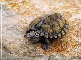 Nackenstreifen Moschusschildkröte - Sternotherus minor peltifer