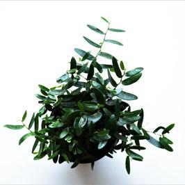 Ficus anouk