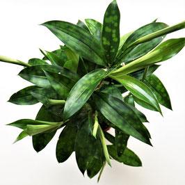 Dracaena surculosa - 2 Blattvarianten verfügbar