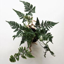 Tarantelfarn - Humata tyermannii