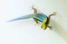 Phelsuma klemmeri - Blauer Bambus Taggecko