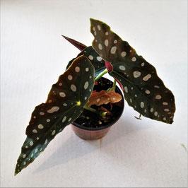 Begonia maculata - gepunktete Begonienart