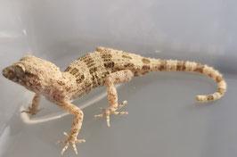 Trachydactylus hajarensis - Hajar Felsen Gecko 1.1 Rarität
