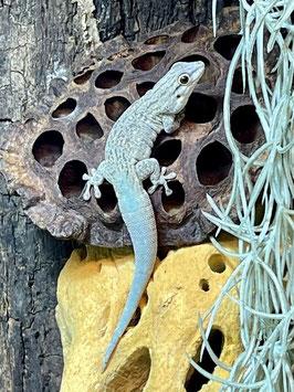 Phelsuma mutabilis - Veränderlicher Taggecko