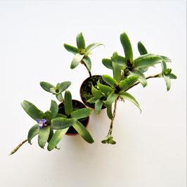 Neoregelia lilliputiana - 2 Topfgrößen verfügbar
