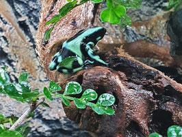 "Dendrobates auratus - Goldbaumsteiger ""green"""