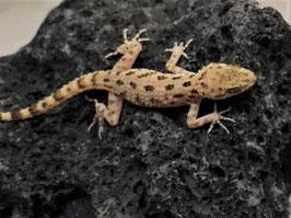 Cyrtopodion scabrum - Krokodilgecko Gruppenpreis