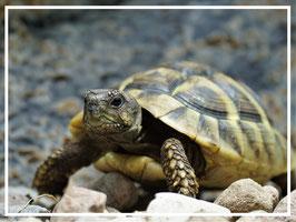 Testudo hermanni boettgeri - Griechische Landschildkröte (Ostrasse)