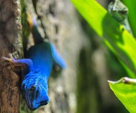 Himmelblaue Zwergtaggecko  - Lygodactylus williamsi