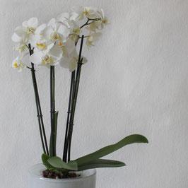 Schnetterlingsorchidee mit Übertopf
