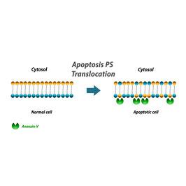Annexin V Apoptosis Detection Kit-Biotin