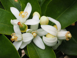 Petigrain Neroli Orange Blossoms