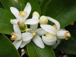 Petigrain Neroli Fleurs d'Oranger